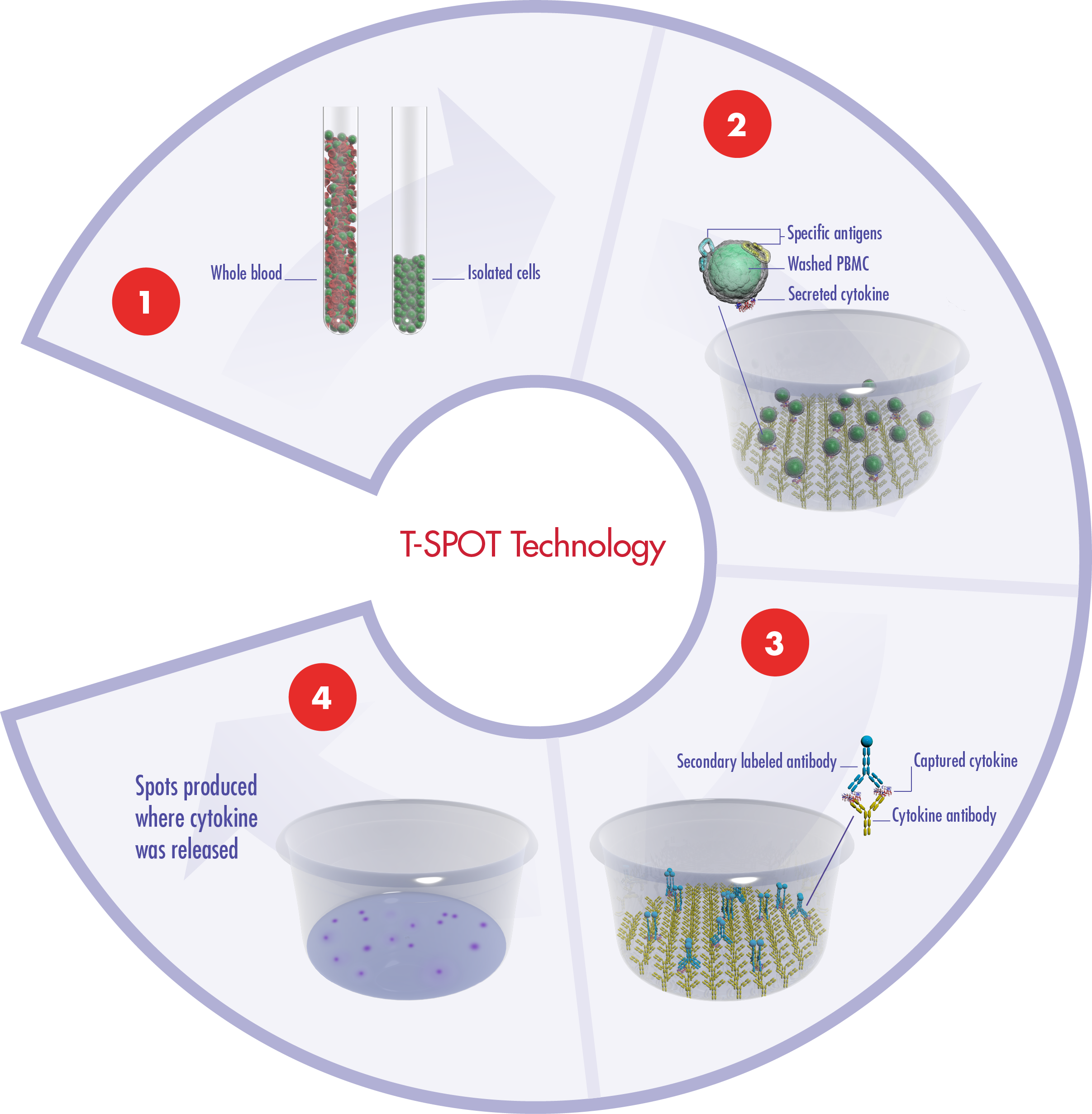 The principles of our T-SPOT assay system using blood as the body fluid in the example